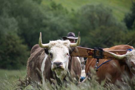 oxen2